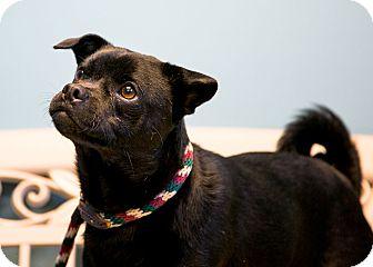 Pug/Chihuahua Mix Dog for adoption in Staunton, Virginia - Sooner