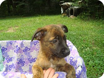Labrador Retriever/American Pit Bull Terrier Mix Puppy for adoption in Old Bridge, New Jersey - Seth