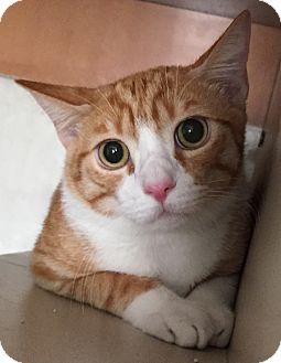 Domestic Shorthair Kitten for adoption in Fountain Hills, Arizona - WESLEY (6 months, big boy)