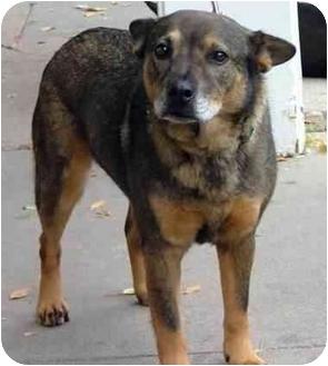 German Shepherd Dog/Chow Chow Mix Dog for adoption in Santa Fe, New Mexico - Skippy