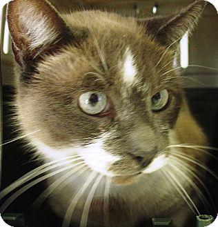 Siamese Cat for adoption in Kalamazoo, Michigan - Rambo
