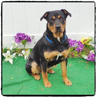 Rottweiler Dog for adoption in Marietta, Georgia - SHANTI