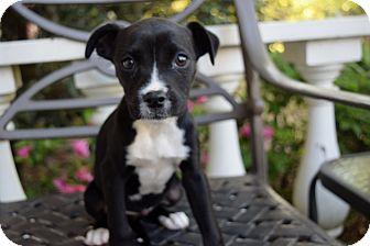 Boxer/Labrador Retriever Mix Puppy for adoption in Harrisburg, Pennsylvania - OLIVIA