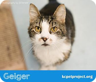 Domestic Shorthair Cat for adoption in Kansas City, Missouri - Geiger*