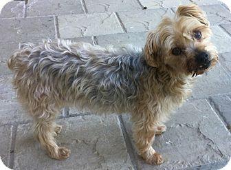 Yorkie, Yorkshire Terrier Dog for adoption in Phoenix, Arizona - Yogi