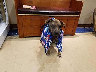 Labrador Retriever/Hound (Unknown Type) Mix Dog for adoption in New York, New York - Dottie