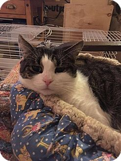 Domestic Shorthair Cat for adoption in THORNHILL, Ontario - Ziggy