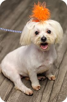 Havanese/Maltese Mix Dog for adoption in College Station, Texas - Rowdy