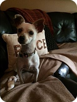 Chihuahua/Fox Terrier (Smooth) Mix Dog for adoption in Osseo, Minnesota - Jasmine