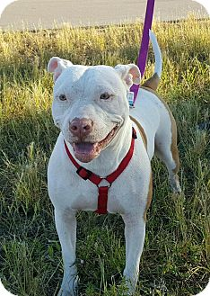 American Bulldog/Pit Bull Terrier Mix Dog for adoption in Ft. Myers, Florida - Destiny