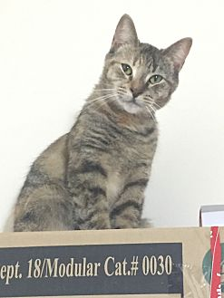 Domestic Shorthair Cat for adoption in Washington, D.C. - Penny