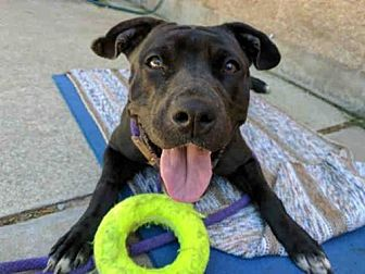 American Pit Bull Terrier Dog for adoption in Aurora, Illinois - CLEO