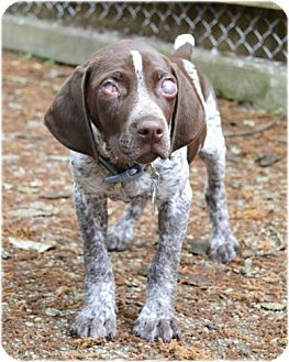 German Shorthaired Pointer Puppy for adoption in Huntington, New York - Spartacus