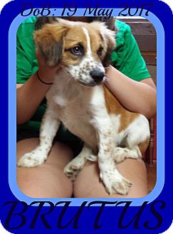Brittany/Dachshund Mix Puppy for adoption in White River Junction, Vermont - BRUTUS