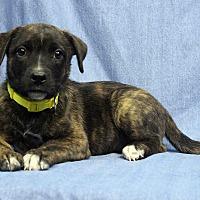 Adopt A Pet :: Twix - Westminster, CO