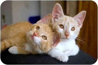 American Shorthair Kitten for adoption in Alexandria, Virginia - Oscar