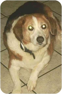 Collie/Beagle Mix Dog for adoption in Coudersport, Pennsylvania - BUDDY 2