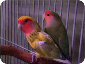 Lovebird for adoption in Redlands, California - Tammy & Tutti