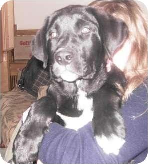 Labrador Retriever Mix Puppy for adoption in Saskatoon, Saskatchewan - Coal