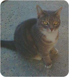 Hemingway/Polydactyl Cat for adoption in Riverside, California - Pancake