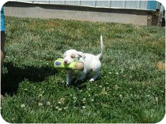 Terrier (Unknown Type, Medium) Mix Puppy for adoption in Meridian, Idaho - Marlee