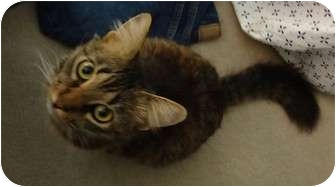 Maine Coon Cat for adoption in Hurst, Texas - Sasha
