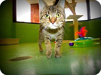 Domestic Shorthair Cat for adoption in Gadsden, Alabama - Smashmouth