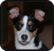 Rat Terrier Mix Dog for adoption in Foster, Rhode Island - Gracie