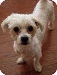 Maltese Mix Dog for adoption in Baton Rouge, Louisiana - Noah