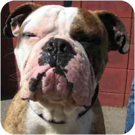 American Bulldog Mix Dog for adoption in Berkeley, California - Yale