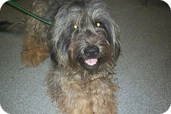 Bearded Collie/Schnauzer (Standard) Mix Dog for adoption in Lincolnton, North Carolina - Gee