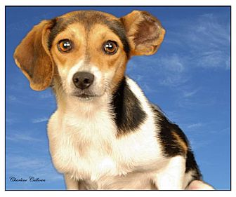 Beagle/Rat Terrier Mix Dog for adoption in Newland, North Carolina - Cozette