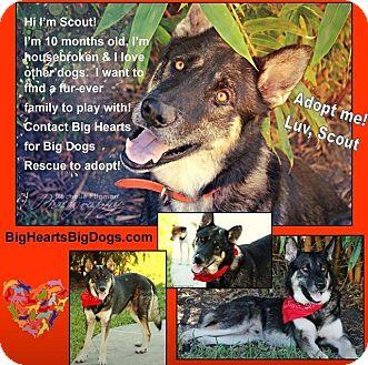 German Shepherd Dog Mix Dog for adoption in Lake Worth, Florida - Scout