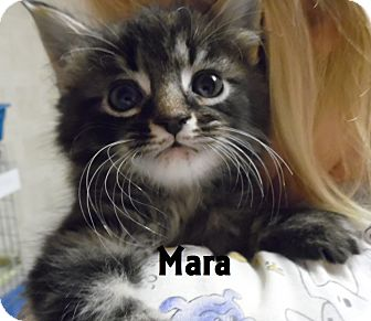 Domestic Shorthair Kitten for adoption in Franklin, North Carolina - MARA