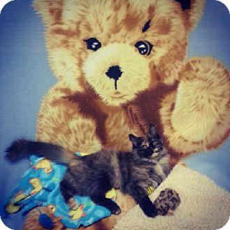 Maine Coon Kitten for adoption in Dedham, Massachusetts - Buttercup