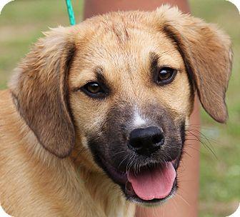 Golden Retriever/German Shepherd Dog Mix Puppy for adoption in Chicago, Illinois - Boots