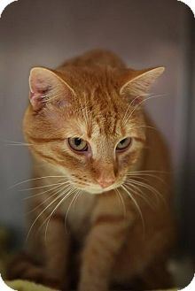 Domestic Shorthair Cat for adoption in Hillside, Illinois - Gus
