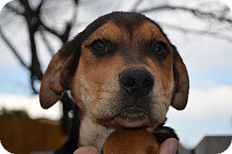 Hound (Unknown Type) Mix Puppy for adoption in Westminster, Colorado - Dewey