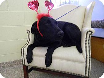 Labrador Retriever Mix Dog for adoption in Tyner, North Carolina - Sugar