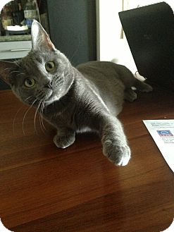 Russian Blue Cat for adoption in Los Angeles, California - Gracie