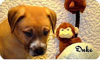 Mastiff/American Staffordshire Terrier Mix Puppy for adoption in Lancaster, Kentucky - Duke