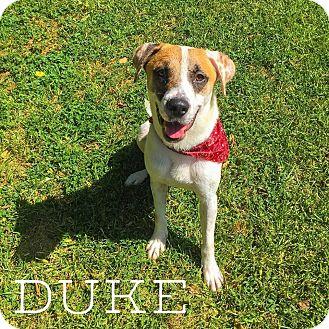 Labrador Retriever/Labrador Retriever Mix Dog for adoption in Austin, Texas - Duke