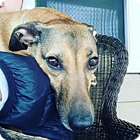 Miniature Pinscher Mix Dog for adoption in Dallas, Texas - zzStaley