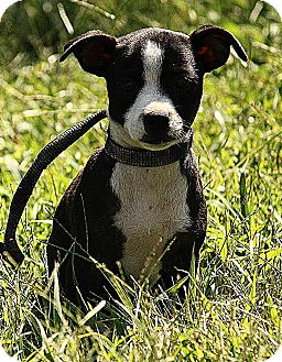 Chihuahua/Boston Terrier Mix Puppy for adoption in Spring Valley, New York - Sissy