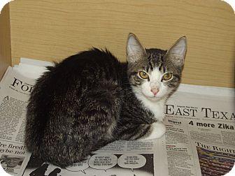 Domestic Shorthair Cat for adoption in Marshall, Texas - Kuno
