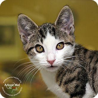 Domestic Shorthair Kitten for adoption in Lyons, New York - Noah