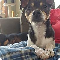 Adopt A Pet :: Nico ~ meet me! - Glastonbury, CT