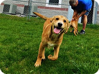 Shepherd (Unknown Type) Mix Puppy for adoption in Lafayette, New Jersey - Trevor/Tyrus