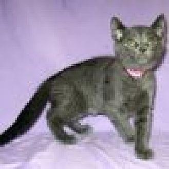 Domestic Shorthair Cat for adoption in Powell, Ohio - Miriya