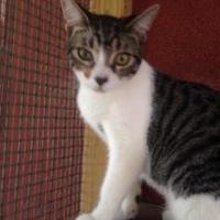 Domestic Shorthair/Domestic Shorthair Mix Cat for adoption in St. Thomas, Virgin Islands - GARNET